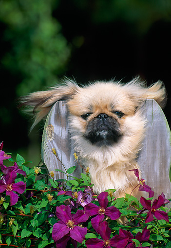 PUP 22 CE0002 01 © Kimball Stock Pekingese Puppy Peeking Through Fence By Purple Flowers