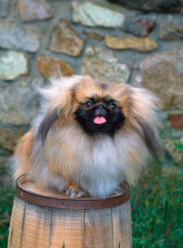 PUP 22 CE0003 01 © Kimball Stock Pekingese Puppy Sitting On Barrel By Stone Wall