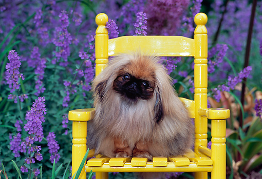 PUP 22 CE0004 01 © Kimball Stock Pekingese Puppy Sitting On Yellow Chair By Purple Flowers