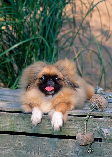 PUP 22 CE0005 01 © Kimball Stock Pekingese Puppy Laying On Crate By Rope And Tall Grass