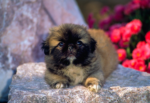PUP 22 CE0006 01 © Kimball Stock Pekingese Puppy Laying On Rock By Pink Flowers