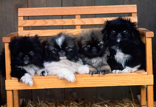 PUP 22 CE0007 01 © Kimball Stock Four Pekingese Puppies Laying On Wooden Bench