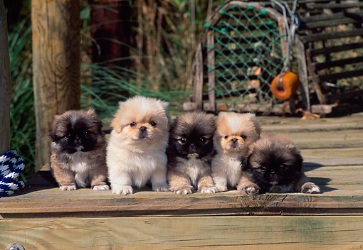 PUP 22 CE0008 01 © Kimball Stock Five Pekingese Puppies Laying On Wooden Dock