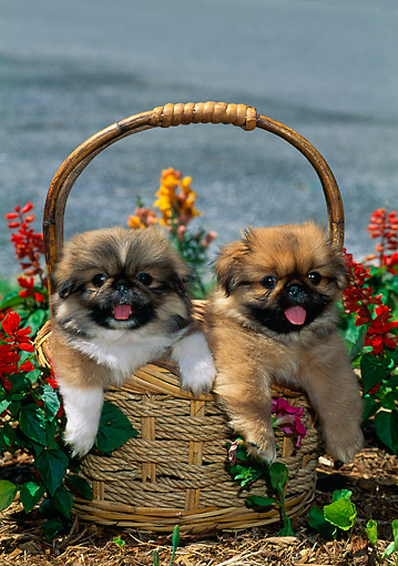 PUP 22 CE0009 01 © Kimball Stock Two Pekingese Puppies Sitting In Basket By Red Flowers