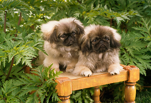 PUP 22 RC0001 01 © Kimball Stock Two Pekingese Puppies Sitting On Stool In Lush Garden
