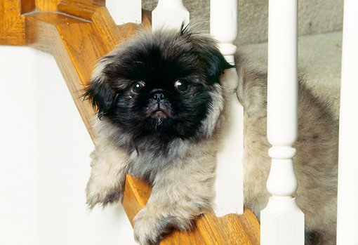 PUP 22 RK0004 01 © Kimball Stock Pekingese Puppy Laying On Stair Railing