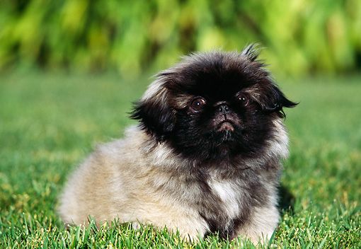 PUP 22 RK0012 01 © Kimball Stock Pekingese Puppy Sitting On Grass Facing Camera