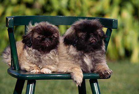 PUP 22 RK0015 02 © Kimball Stock Two Pekingese Puppies Sitting Together On Chair Outside By Grass And Bushes
