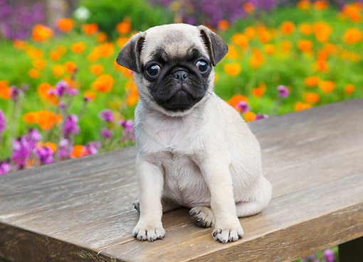 PUP 23 BK0002 01 © Kimball Stock Pug Puppy Sitting On Bench By Poppies
