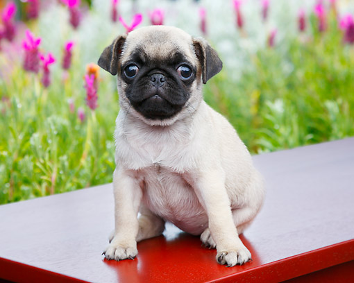 PUP 23 BK0003 01 © Kimball Stock Pug Puppy Sitting On Red Bench By Pink Flowers