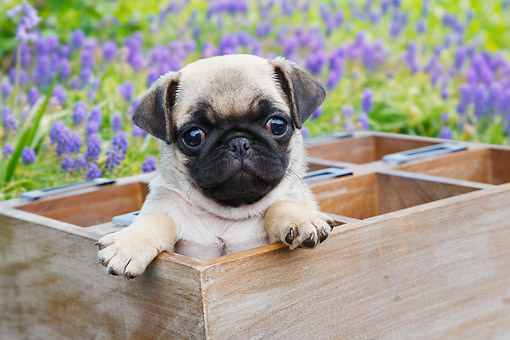 PUP 23 BK0004 01 © Kimball Stock Pug Puppy Sitting In Planter Box By Flowers