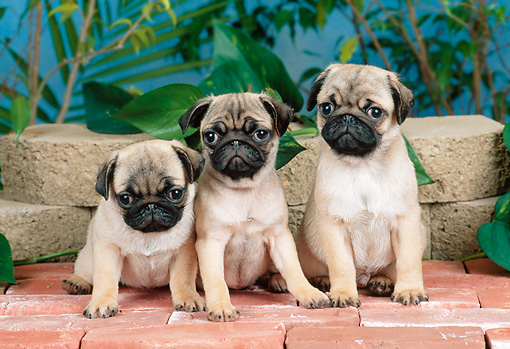 PUP 23 CE0018 01 © Kimball Stock Three Pug Puppies Sitting On Brick Patio By Plants