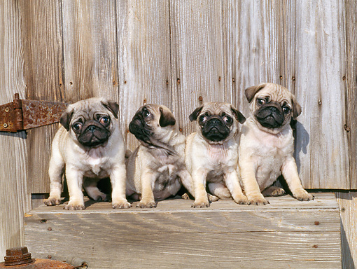 PUP 23 CE0019 01 © Kimball Stock Four Pug Puppies Sitting By Wooden Gate