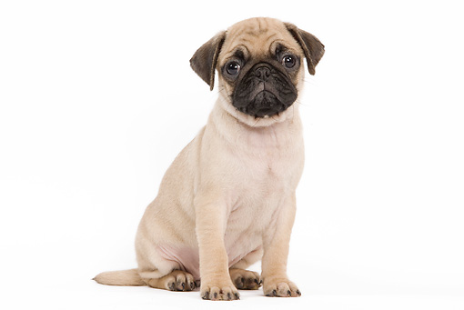 PUP 23 JE0007 01 © Kimball Stock Pug Puppy Sitting On White Seamless Profile