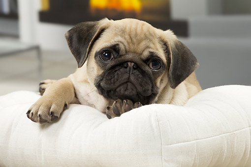 PUP 23 JE0013 01 © Kimball Stock Pug Puppy Laying On Couch By Fireplace