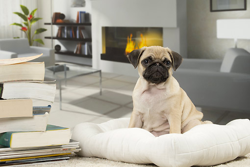PUP 23 JE0014 01 © Kimball Stock Pug Puppy Sitting On Couch By Fireplace