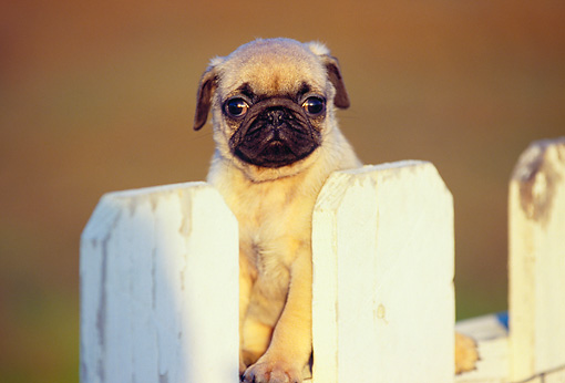 PUP 23 RK0002 01 © Kimball Stock Pug Puppy Sitting Behind  White Fence