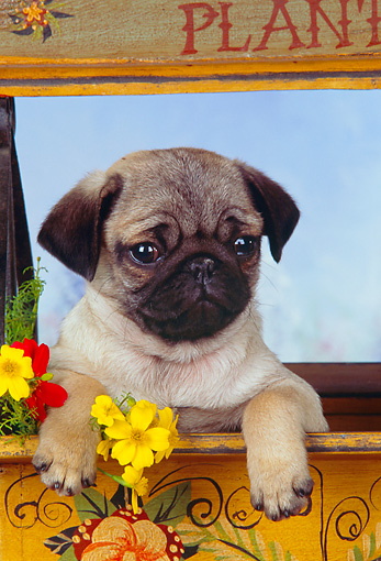 PUP 23 RK0018 05 © Kimball Stock Head Shot Of Pug Puppy Sitting In Flower Cart Studio
