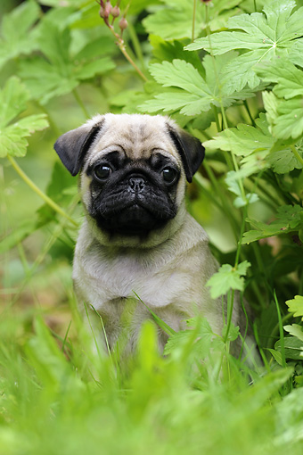 PUP 23 SS0001 01 © Kimball Stock Portrait Of Pug Puppy Sitting In Grass