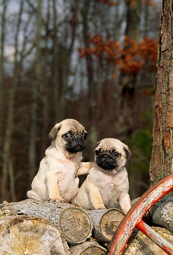 PUP 23 CE0001 01 © Kimball Stock Two Pug Puppies Sitting On Woodpile By Wheel