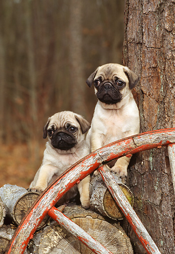 PUP 23 CE0001 02 © Kimball Stock Two Pug Puppies Sitting On Woodpile By Wheel