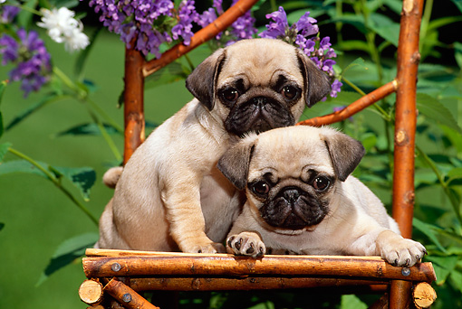 PUP 23 CE0003 01 © Kimball Stock Two Pug Puppies Sitting On Twig Chair By Purple Flowers