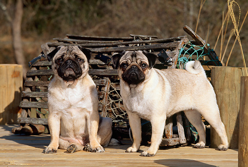 PUP 23 CE0004 01 © Kimball Stock Two Pug Puppies Standing On Dock By Lobster Trap