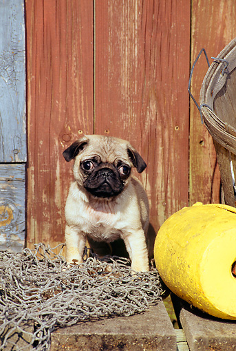 PUP 23 CE0005 01 © Kimball Stock Pug Puppy Standing On Dock By Net And Boathouse