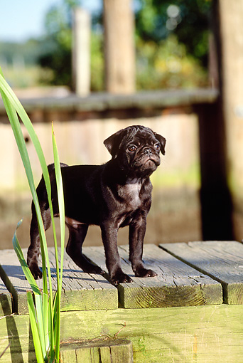 PUP 23 CE0007 01 © Kimball Stock Pug Puppy Standing On Dock By Reeds