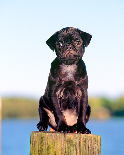 PUP 23 CE0008 01 © Kimball Stock Pug Puppy Sitting On Wooden Post By Water Blue Sky