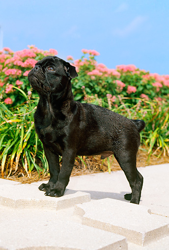 PUP 23 CE0009 01 © Kimball Stock Pug Puppy Standing On Concrete Border By Flowerbed