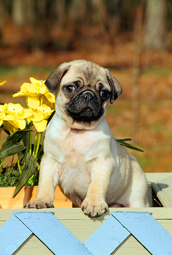 PUP 23 CE0010 01 © Kimball Stock Pug Puppy Standing In Planter With Blue Lattice