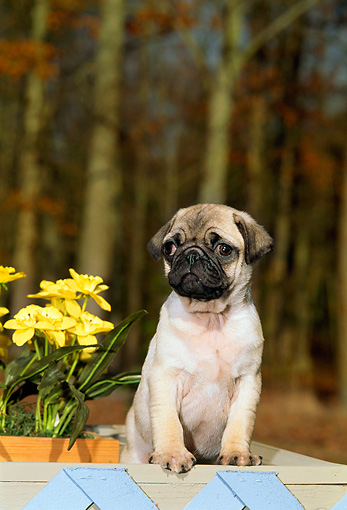 PUP 23 CE0011 01 © Kimball Stock Pug Puppy Standing In Planter With Blue Lattice