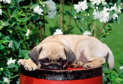 PUP 23 CE0012 01 © Kimball Stock Pug Puppy Laying On Top Of Red Barrel By White Flowers