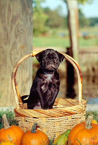 PUP 23 CE0013 01 © Kimball Stock Pug Puppy Standing In Basket By Pumpkins Trees