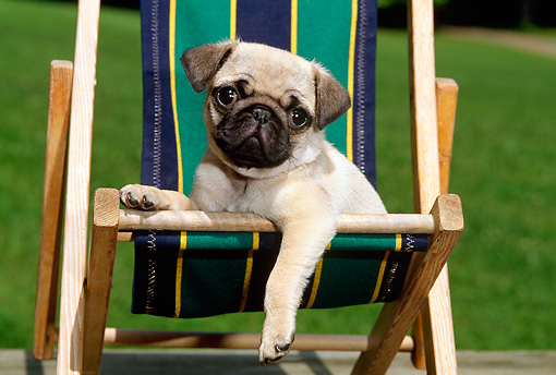 PUP 23 CE0014 01 © Kimball Stock Pug Puppy Laying On Striped Beach Chair By Grass
