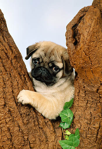 PUP 23 FA0002 01 © Kimball Stock Shoulder Shot Of Pug Puppy Sitting Fork Of Tree