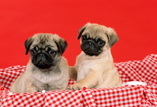 PUP 23 FA0004 01 © Kimball Stock Two Pug Puppies Sitting On Red Checked Cloth In Basket