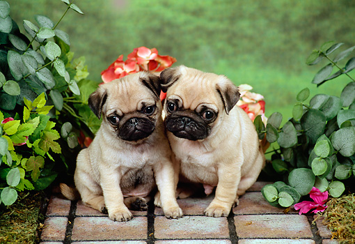 PUP 23 FA0005 01 © Kimball Stock Two Pug Puppies Sitting On Mat By Flowers And Foliage