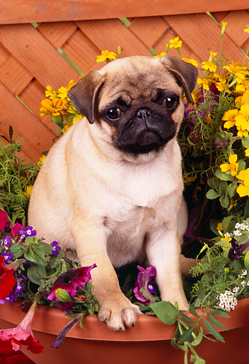PUP 23 RK0016 08 © Kimball Stock Pug Puppy Standing In Flower Pot By Wood Lattice Fence