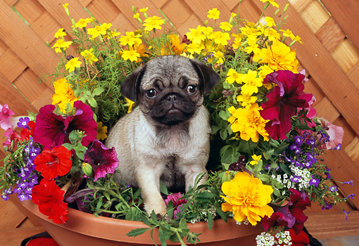 PUP 23 RK0016 13 © Kimball Stock Pug Puppy Standing In Flower Pot By Wood Lattice Fence
