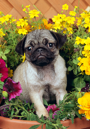 PUP 23 RK0016 14 © Kimball Stock Pug Puppy Standing In Flower Pot By Wood Lattice Fence