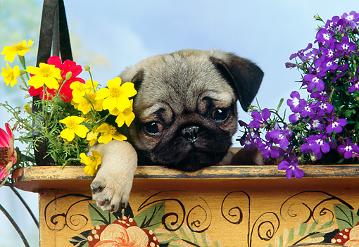 PUP 23 RK0018 11 © Kimball Stock Head Shot Of Pug Puppy Sitting In Flower Cart Studio