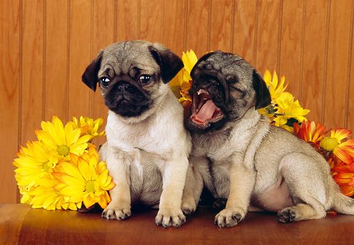 PUP 23 RK0023 07 © Kimball Stock Two Pug Puppies Sitting On Table With Yellow Flowers
