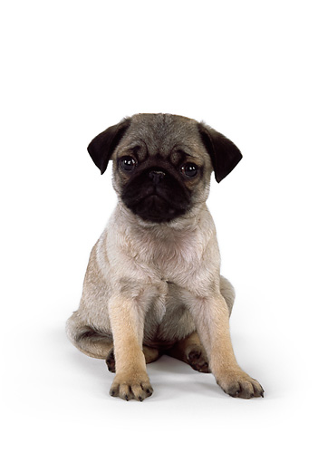 PUP 23 RK0026 02 © Kimball Stock Pug Puppy Sitting On White Seamless