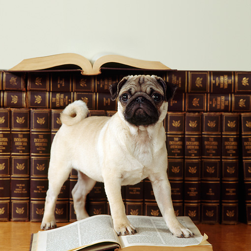 PUP 23 RS0002 01 © Kimball Stock Pug Puppy Stepping On Book