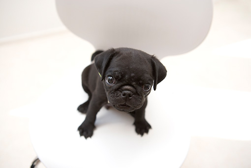 PUP 23 YT0002 01 © Kimball Stock Pug Puppy Sitting On White Chair