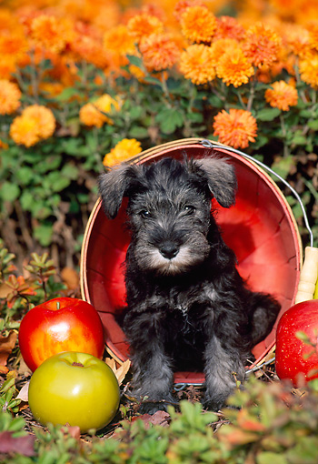 PUP 24 CE0007 01 © Kimball Stock Miniature Schnauzer Puppy Sitting In Basket By Apples And Orange Chrysanthemums