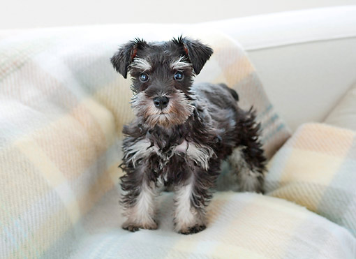 PUP 24 YT0006 01 © Kimball Stock Miniature Schnauzer Puppy Standing On Blanket