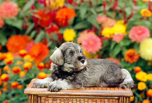 PUP 24 CE0001 01 © Kimball Stock Miniature Schnauzer Puppy Laying On Wooden Bench By Flowers